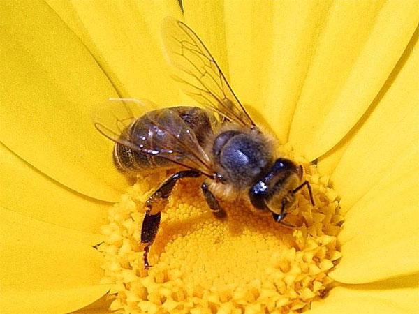 Mơ thấy ong có điềm báo gì