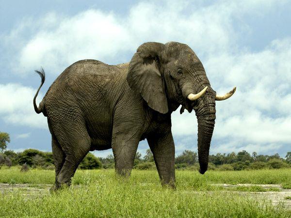 Giải mã giấc mơ thấy voi