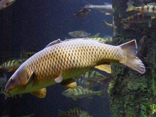 Mộng mơ thấy cá chép mang đến ý nghĩa gì về con số đề