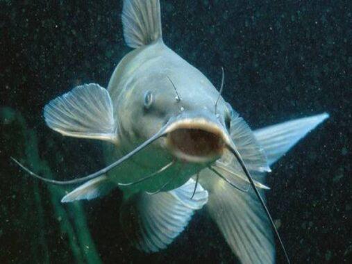Nằm mơ thấy cá trê là điềm tốt hay xấu ? Đánh số mấy trúng ?