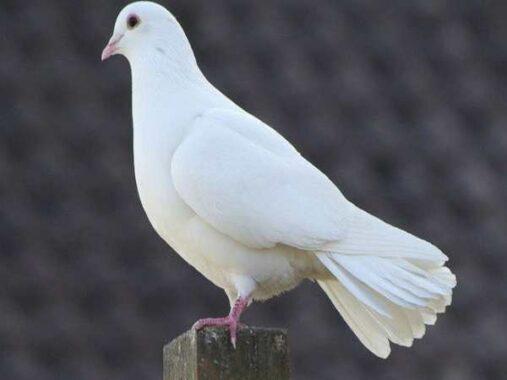 Mơ thấy chim bồ câu là điềm tốt hay xấu ? Đánh con gì chắc trúng ?