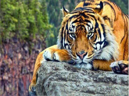 Nằm mơ thấy hổ là điềm hên hay xui ? Đánh số đề con gì ?