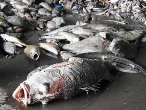 Nằm mơ thấy cá chết là điềm hung hay cát ? Đánh số đề con gì ?
