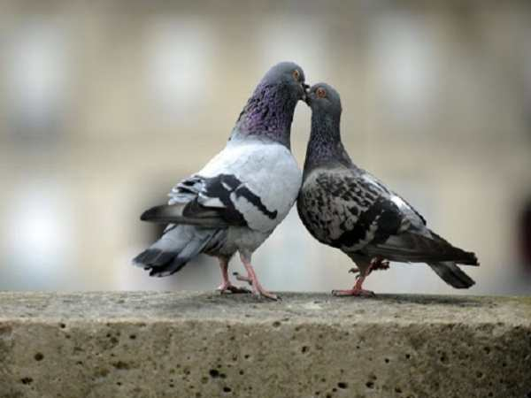 nam mo thay chim bo cau