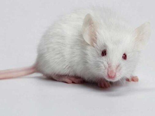 Nằm mơ thấy chuột đánh số đề con gì ? Là điềm hung hay cát ?