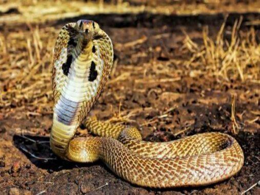 Nằm mơ thấy rắn hổ mang là điềm lành hay dữ ? Đánh lô đề con gì ?
