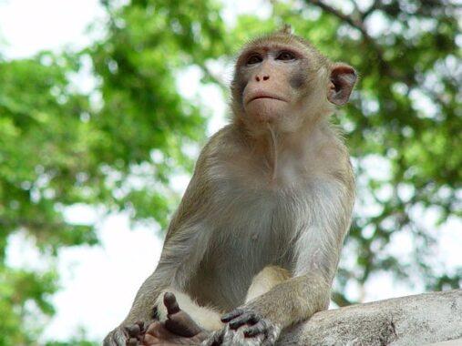 Nằm mơ thấy khỉ là điềm tốt hay xấu ? Đánh số đề con gì ?